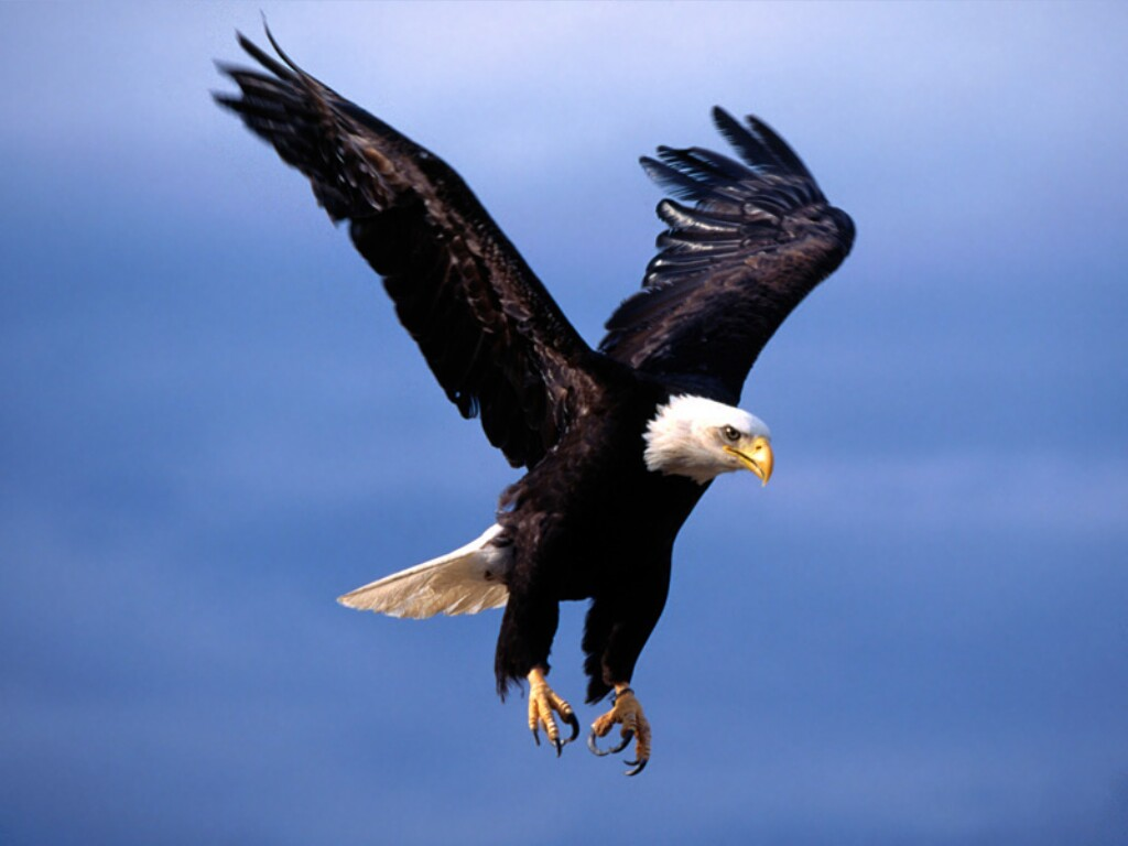 http://bergoiata.org/fe/Rapaces/Fearsome%20Flight,%20Bald%20Eagle.jpg